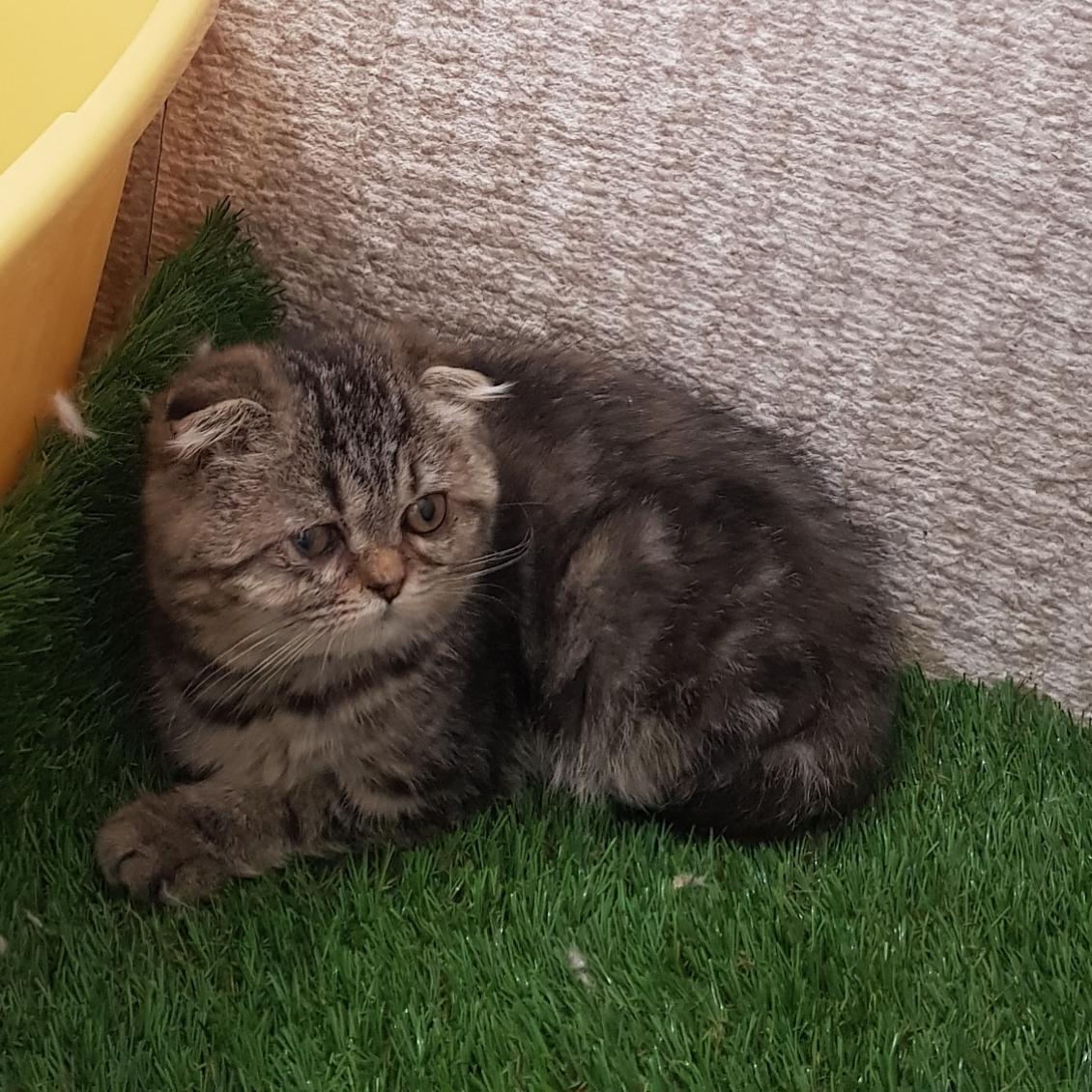 فروش بچه گربه اسکاتیش فلد