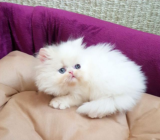 فروش بچه گربه سفید سوپر فلت شجره دار