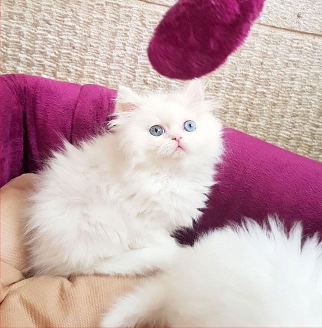فروش بچه گربه پرشین صورت عروسکی