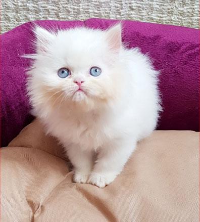 فروش بچه گربه سفید چشم آبی