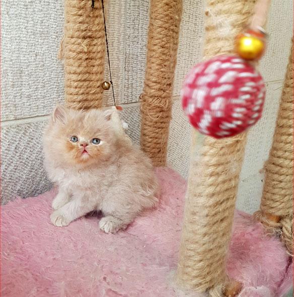 فروش بچه گربه نسکافه ای
