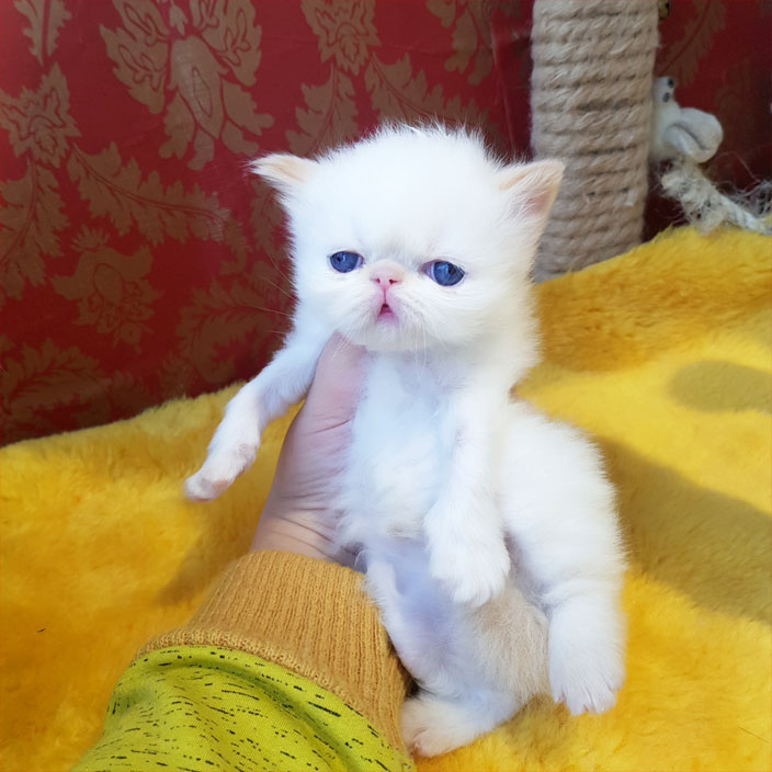 فروش بچه گربه پرشین هیمالین چشم آبی