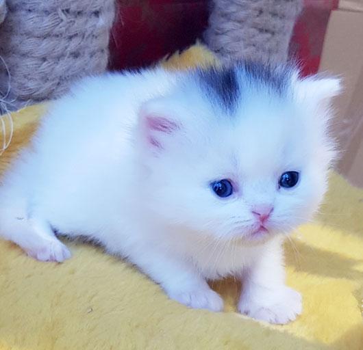 فروش بچه گربه سفید خاص
