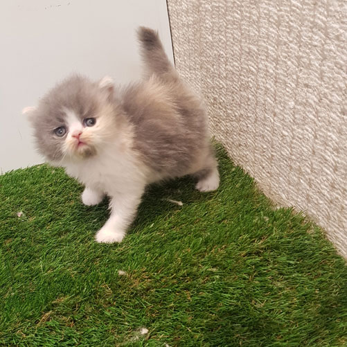 بچه گربه پرشین کالیکو
