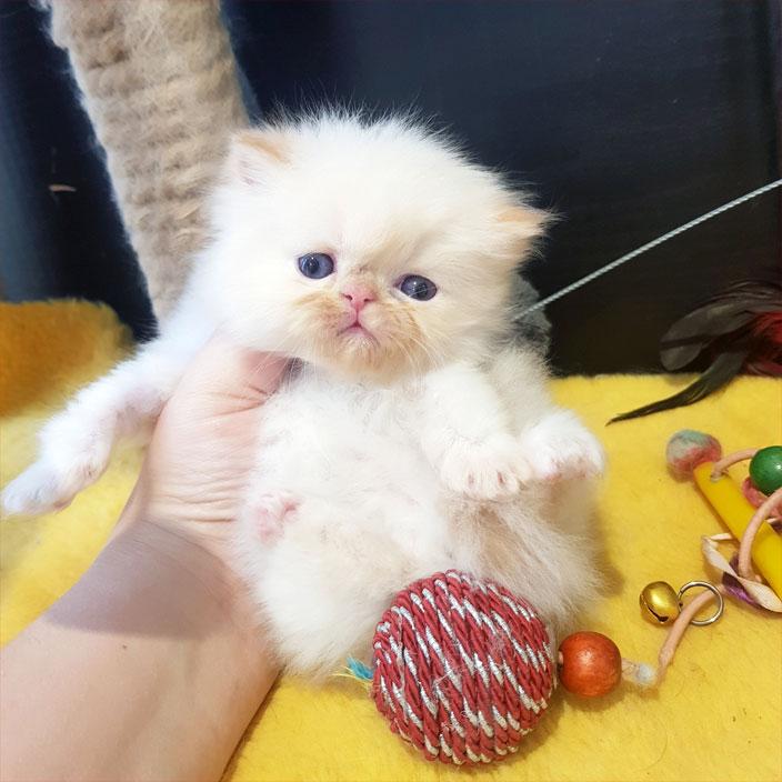 فروش بچه گربه ردپوینت عروسکی
