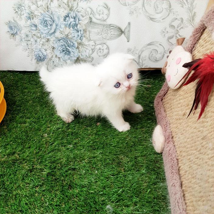 بچه گربه اسکاتیش فلد
