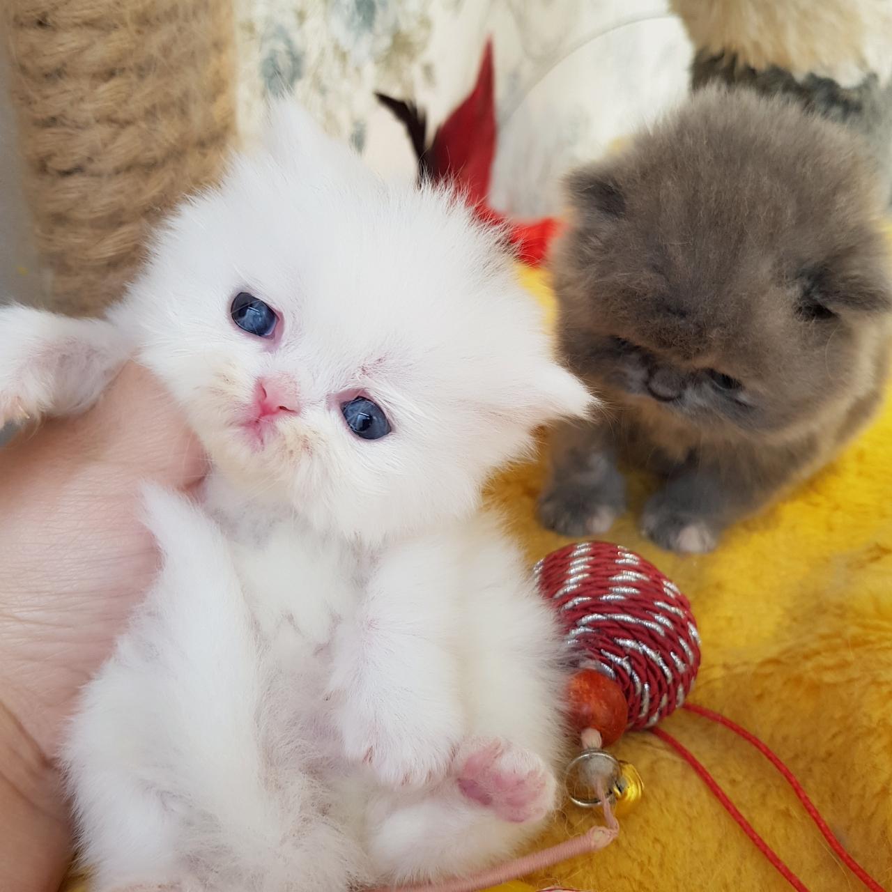 بچه گربه سفید برفی صورت عروسکی