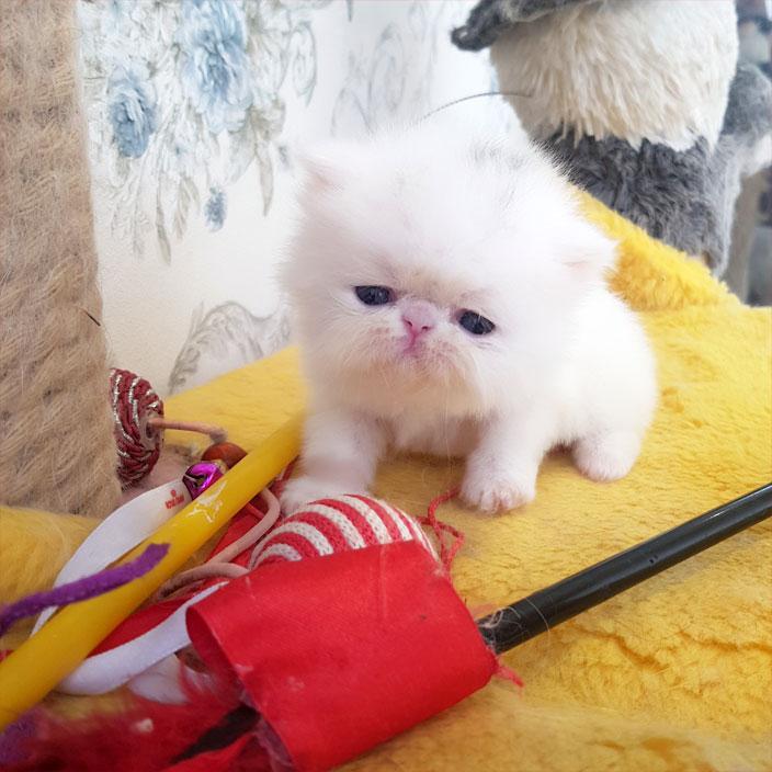 بچه گربه سفید سوپر فلت
