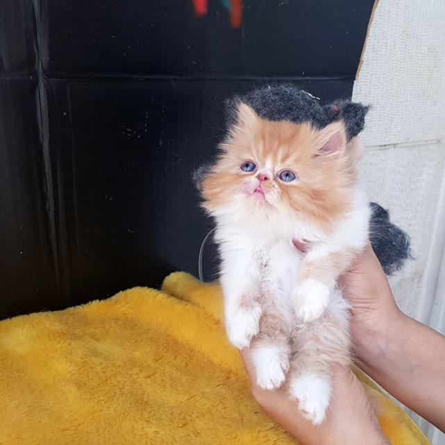 بچه گربه بای کالر گارفیلدی