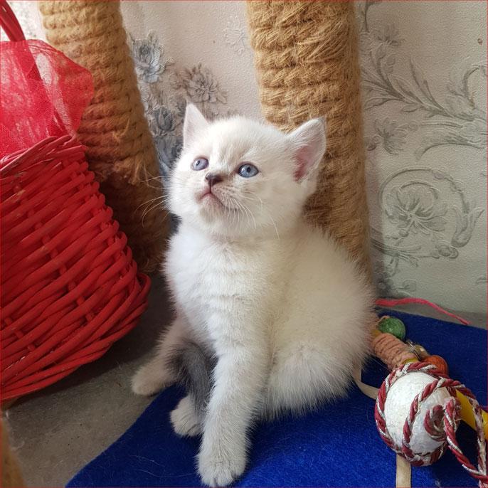 بچه گربه بریتیش مو کوتاه